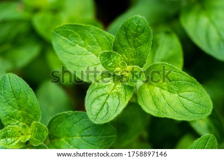 A shot of a twig of an oregano plant, known as sweet marjoram or wild marjoram Stock photo ©