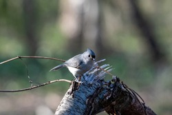 A shot of the beautiful gray Tufted titmouse bird standing on a broken piece of wood