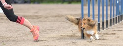 A shot of the Shetland Sheepdog doing slalom during an agility dog competition with a human