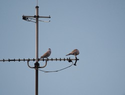 A shot of two pigeons sitting on antenna