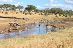 A shot of zeal of zebras at a water stream in the savanna