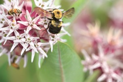 A Showy Milkweed blossom with both a Common Eastern Bumblebee and a honey bee shows their size differences.