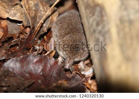 A shrew under the edge of a fallen log in fallen leaves #1240320130