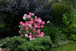 A shrub of hydrangea paniculata of the Rouge Diamand variety with red flowers, a bright red scarlet color in the garden design. Seasonal change in color of flowers from white to red.