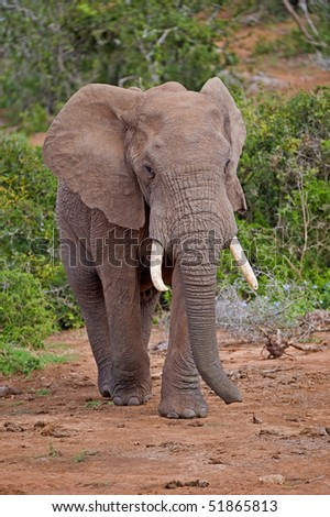 A shy Forest Elephant emerges to drink