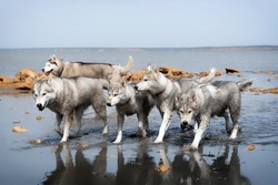 A Siberian Husky pack is walking at the water. All five dogs in the group have wet grey and white fur. Blue water surrounds them. There are a lot of yellow rocks and coast in the background.