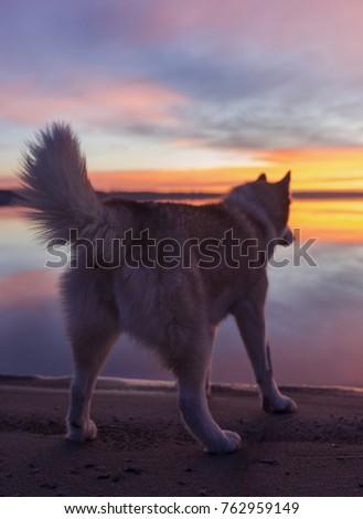 a siberian husky stands on a...