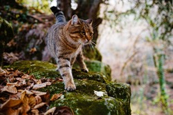 A Siberian tabby cat exploring the dark autumn forest. fairytale character of fall forest