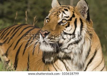A Siberian Tiger Close Up & Personal