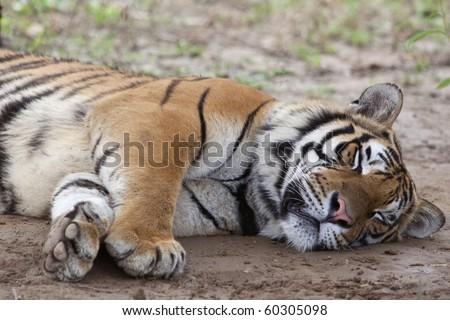 A Siberian tiger lying on the ground and sleep