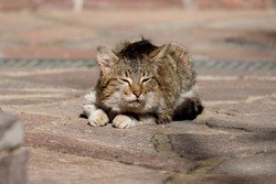 A sick cat lies on the road. The cat is drooling.