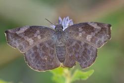 A Sickle-winged Skipper feeding from a wildflower in the LRGV.