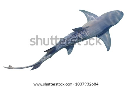 A Sicklefin Lemon shark, Negaprion acutidens, isolated on white background. The Lemon shark lives in the sandy reef near the edge of water. Copy space. View from top.
