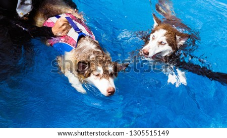 A sickness Siberian husky, white&brown fur colored is swimming in the therapy pool with life jacket for getting soft exercise for muscle. Water  is a good healing and comfortable relaxing activity.  #1305515149