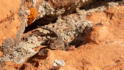 A side blotched lizard soaks up some sun while sitting on lichen covered sandstone