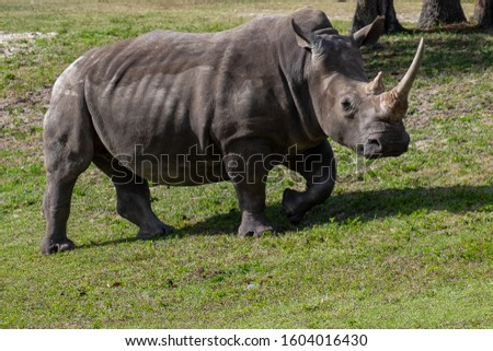 A side profile of a large rhinoceros walks along a grassy knoll.  The animal has a long white horn with a grey thick textured leathery skin. The rhino is walking on the green grass.