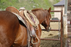 A side view of a brown colored horse standing next to a metal gate wearing a western saddle that has a lasso hanging from the saddle horn.