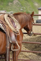 A side view of a brown colored horse standing next to t metal gate wearing a western saddle that has a lasso hanging from the saddle horn.