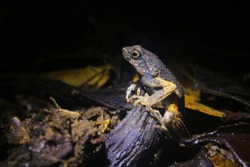 A side view of a Peter's dwarf frog, Engystomops petersi, a dark brown frog or toad with orange dots and a white belly sitting on a small branch
