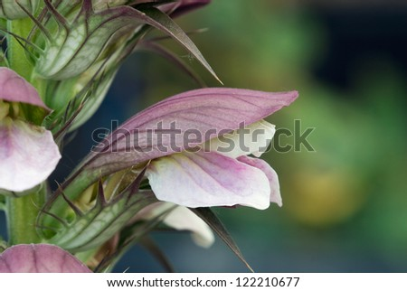 A side-view of a single, bear\'s breaches (Acanthus mollis) flower blooming in a garden in southern Barry Co., Michigan.