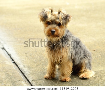 A side view picture of a cute Yorkshire Terrier puppy sitting on the floor. Little yorkie dog.
