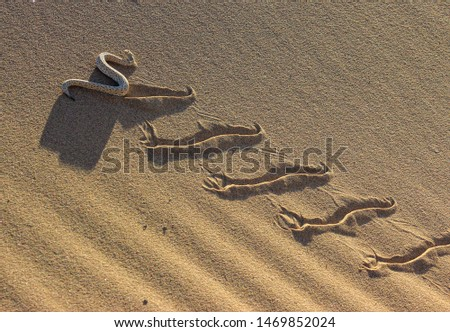 A sidewinder - Bitis peringueyi - in the Namib desert, making tracks climbing a dune in late afternoon light Stock photo ©
