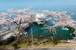 A sightseeing boat parking at a dock on the shore of Biwa Lake and cherry blossom trees (Sakura) blooming by the lakeside highway on a sunny spring day at Kaizu Osaki, Makino, Takashima, Shiga, Japan
