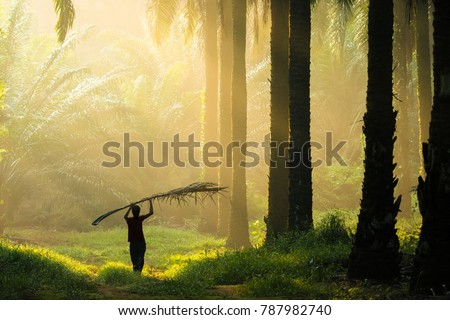 A silhouette man working in palm oil plantation with amazing morning ray of light.  #787982740