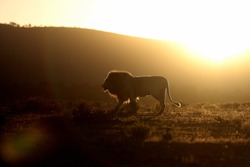 A silhouette of a big male white lion walking across the savannah at sunset. Africa