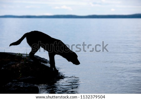 A silhouette of a Labrador retriever on a lake in Finland. There is no wind and the water surface is almost calm. #1132379504