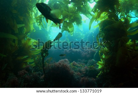 stock-photo-a-silhouetted-calico-bass-in-a-kelp-forest-off-of-catalina-island-california-133771019.jpg
