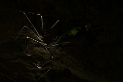A silhoutte of a whip spider with the two spine thudded pincers strechted out to catch a prey