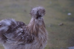 A Silkie or Chinese silk chicken in the local farm in Thailand with selective focus.Its atypically fluffy plumage.The breed was recognized officially in North America.
