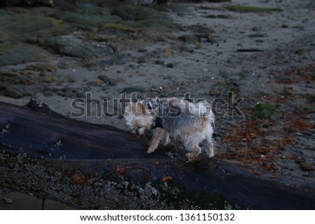 A silky terrier X walking on a wet log laying in the sand #1361150132