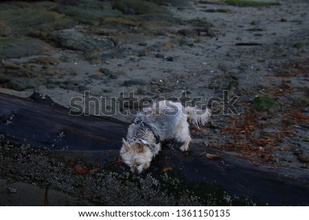 A silky terrier X walking on a wet log laying in the sand #1361150135
