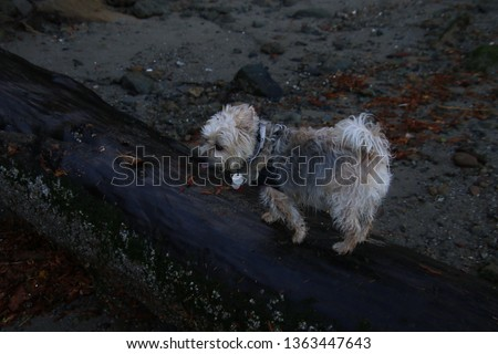 A silky terrier X walking on a wet log laying in the sand Tag saying Annual renewal required in english no other readable text #1363447643