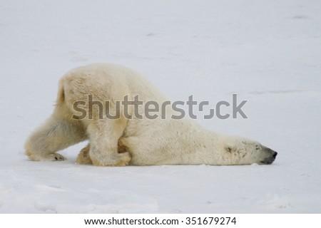 a silly polar bear pushes across the snow on his belly.