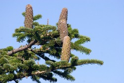 A  silver fir cone on the branch