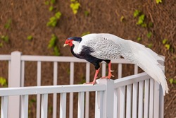 a silver pheasant walks amusingly along the fence. The concept of ornithology and hunting game