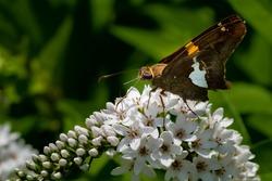 A Silver-spotted Skipper Butterfly (Epargyreus clarus) feeding on a white flower bloom in the summer sun.