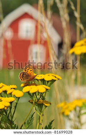 A Silver-Washed Fritillary butterfly on a meadow in Sweden. In the background an old swedish wooden house.