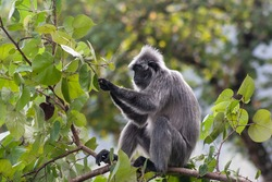 A silvery langur sitting on a branch searching for food among the leaves.