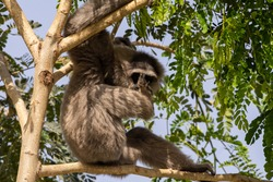 A silvery or Javan gibbon (Hylobates moloch) sits on a rock and sucks toe in the sunshine.