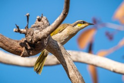 A Singing Honeyeater in the tree at sunrise