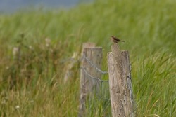 A singing Meadow pipit, small bird, perched on fence post