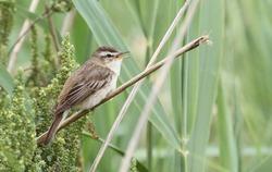 A singing Sedge Warbler (Acrocephalus schoenobaenus) perched on reeds.