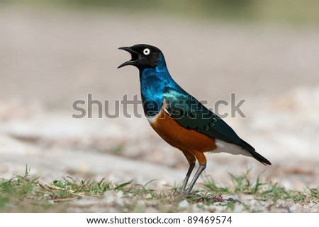 A singing superb starling photographed at eye level in the Serengeti National Park, Tanzania
