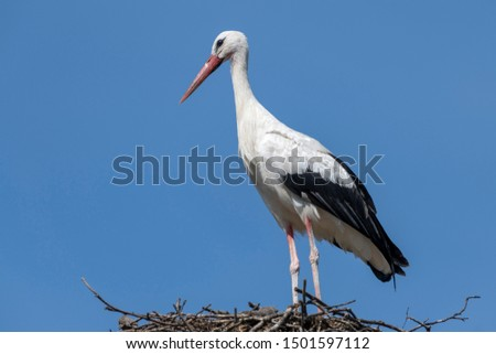 A single adult stork against a blue sky in a large nest