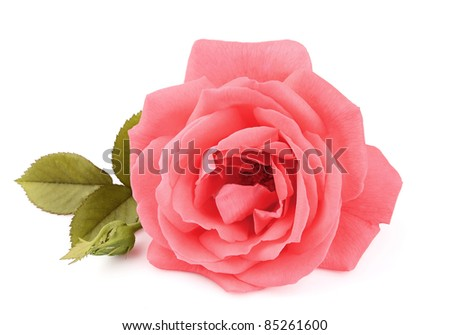 A single beautiful pink rose with leafs on the white