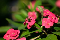 A single black and yellow western honey bee or apis mellifera landed on red crown of thorns or euphorbia milii flower collecting nectar and pollen. There is a blurred background with leaves and nature